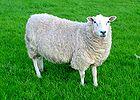 140px-Lleyn_Sheep_001