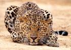 leopard_2011
